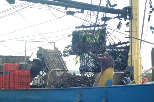 Sinds deze week worden de Zeeuwse platte oesters weer uit de Oosterschelde gevist